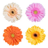 Fresh Gerbera Flower Isolated Royalty Free Stock Images