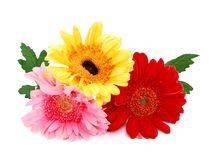 Fresh gerbera flowers Stock Images