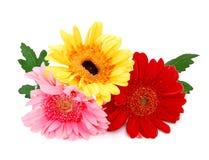Fresh gerbera flowers Stock Images