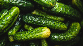 Fresh gherkins. Fresh small wet gherkins isolated black Royalty Free Stock Images