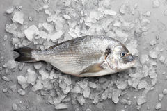 Fresh gilthead bream or dorado. Fresh dorado or gilthead bream on stone background with ice Royalty Free Stock Images