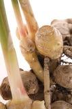 Fresh ginger root. plant stock photo