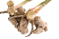 Fresh ginger root. plant Royalty Free Stock Photography