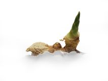 Fresh Ginger Shoot (Paper Growth). A photo a fresh ginger shoot growing out of A white piece of paper symbolizing paper growth Royalty Free Stock Photography