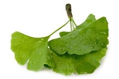 Free Fresh Gingko Leaves Stock Image - 5990211