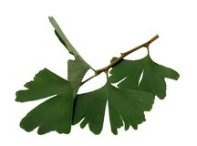 Fresh ginkgo sprig, plant of the ginkgo Stock Photography