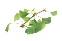 Fresh Ginkgo Stock Image