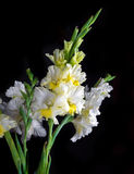 Fresh gladiolus Stock Photo