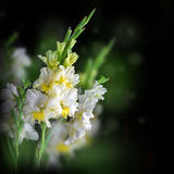 Fresh gladiolus on black background Stock Image