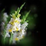 Fresh gladiolus on black background Stock Image