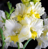 Fresh gladiolus Royalty Free Stock Image