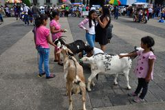 Fresh goat milk in center of the city. An enterprising shepherd sells fresh goat`s milk in the center of Guatemala City on Constitution Square milking to order Royalty Free Stock Image