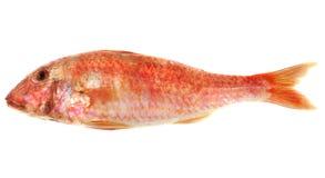 Fresh goatfish Royalty Free Stock Photos