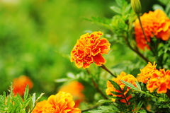 Fresh gold marigolds flower in the garden Royalty Free Stock Photo