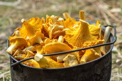 Fresh golden chanterelle mushrooms Stock Image