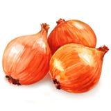 Fresh golden onions Stock Photo