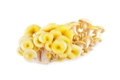 Fresh golden oyster mushroom on white background Stock Photo