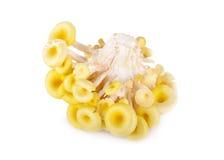 Fresh golden oyster mushroom on white background Royalty Free Stock Photo