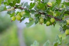 Fresh gooseberries on a branch of gooseberry bush with sunlight. Gooseberry in the fruit garden stock photography