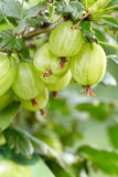 Fresh gooseberries on a branch Stock Photo