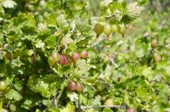 Fresh gooseberries Royalty Free Stock Photos