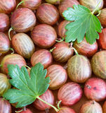 Fresh gooseberries  square background Royalty Free Stock Photography