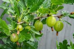 Fresh gooseberry fruits on the branch in early Summer. In backyard garden stock photos
