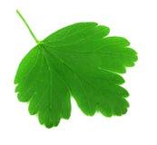 Fresh gooseberry leaf on white Royalty Free Stock Photography
