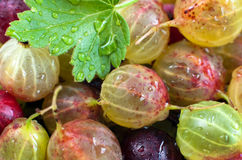 Fresh gooseberry. Macro of green and red gooseberry with leaf, selective focus, horizontal Royalty Free Stock Photo