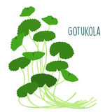 Fresh gotukola leaf in withe backgruond  Royalty Free Stock Photo