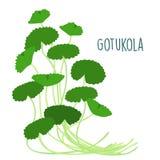 Fresh gotukola leaf in withe backgruond  Royalty Free Stock Photo