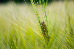 Fresh Grain Royalty Free Stock Images
