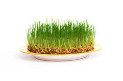 Fresh grain on a plate. Grain growing on a plate Stock Image