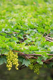 Fresh grape Stock Photography