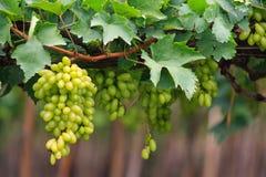 Fresh grape Stock Photos