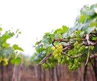 Fresh grape Stock Images