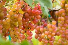 Fresh grape on bunches in farm stock photo
