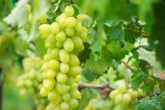 Fresh grape on bunches in farm royalty free stock image