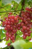 Fresh grape on bunches in farm stock photography