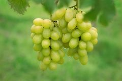 Fresh grape on bunches in farm stock images