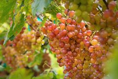 Fresh grape on bunches in farm stock photos