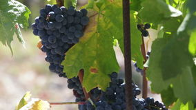 Fresh grape bunches in sunny day stock footage