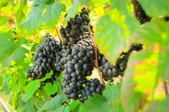 Fresh grapes on crop, Vineyard in Thailand. Stock Photos