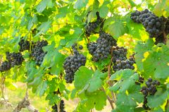 Fresh grapes on crop, Vineyard in Thailand. Stock Photo