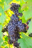 Fresh grapes on crop, Vineyard in Thailand. Stock Image