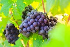 Fresh grapes on crop, Vineyard in Thailand. Royalty Free Stock Photography