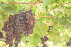 Fresh grape in the farm is ready to harvest. Stock Photo