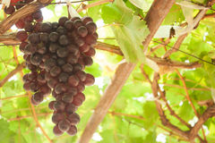 Fresh grape in the farm is ready to harvest. Stock Images