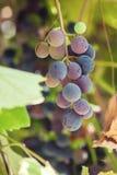Fresh grape fruit on tree brunch Stock Photography