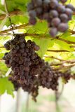 Fresh grape. In the garden royalty free stock photo